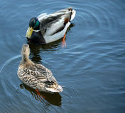 Pair of Mallard Ducks Royalty Free Stock Photography