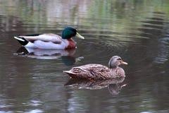 Pair of Mallard Ducks Stock Photography