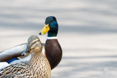 Pair of Mallard Ducks crossing road closeup Royalty Free Stock Photos