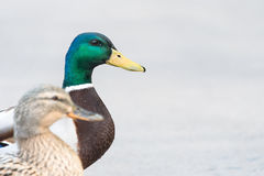 Pair of Mallard Ducks crossing road closeup Stock Image