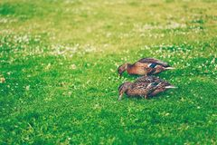 Pair of mallard ducks eating grass in a park. Pair of mallard ducks eating grass in a finnish park called Sorsapuisto the Park with ducks from Tampere, Finland Royalty Free Stock Photos