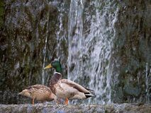 Pair mallard ducks extracting food at the water in the waterfall. The Pair mallard ducks extracting food at the water in the waterfall Royalty Free Stock Images