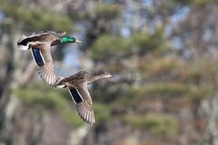 Pair of Mallard Ducks in Flight in Fall. A male and female mallard duck pair flying together in Fall Royalty Free Stock Images