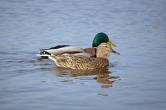 A pair of mallard ducks Royalty Free Stock Photos