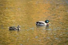 Pair of mallard ducks floats on the Farmington River, Connecticu. A pair of mallard ducks, Anas platyrhynchos, floats on waters of the Farmington River in Canton Stock Photos