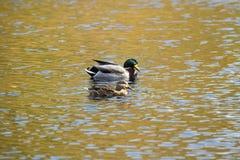 Pair of mallard ducks floats on the Farmington River, Connecticu. A pair of mallard ducks, Anas platyrhynchos, floats on waters of the Farmington River in Canton Royalty Free Stock Photos