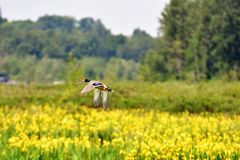 A pair of mallard ducks fly over yellow irises blooming below. stock photography