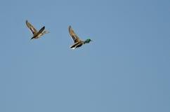 Pair of Mallard Ducks Flying in a Blue Sky Stock Photos