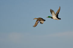 Pair of Mallard Ducks Flying in a Blue Sky Stock Photo