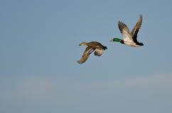 Pair of Mallard Ducks Flying in a Blue Sky Stock Photo