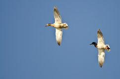 Pair of Mallard Ducks Flying in a Blue Sky Royalty Free Stock Photos