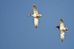 Pair of Mallard Ducks Flying in a Blue Sky Royalty Free Stock Photos