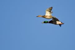 Pair of Mallard Ducks Flying in a Blue Sky Stock Image