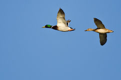 Pair of Mallard Ducks Flying in a Blue Sky Stock Images