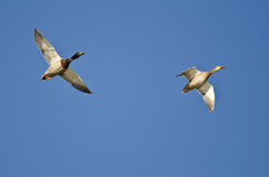 Pair of Mallard Ducks Flying in a Blue Sky Royalty Free Stock Image