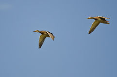 Pair of Mallard Ducks Flying in a Blue Sky Stock Photos