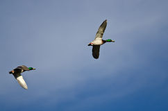 Pair of Mallard Ducks Flying in a Blue Sky. Pair of Mallard Ducks Flying in a Cloudy Blue Sky Royalty Free Stock Images