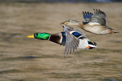 Pair of Mallard Ducks Flying Low Over the River Stock Photography