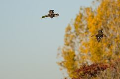 Pair of Mallard Ducks Flying Past the Golden Autumn Trees. Pair of Mallard Ducks Flying Low Past the Golden Autumn Trees Stock Images