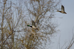 Pair of Mallard Ducks Flying Low Among the Trees Royalty Free Stock Photos