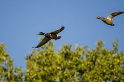 Pair of Mallard Ducks Flying Over the Autumn Trees. Pair of Mallard Ducks Flying Low Over the Autumn Trees Stock Photo