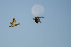 Pair of Mallard Ducks Flying Past the Moon Stock Photo