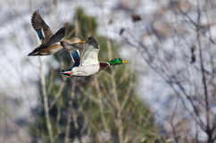 Pair of Mallard Ducks Flying Past the Snow Filled Winter Woods Royalty Free Stock Photography