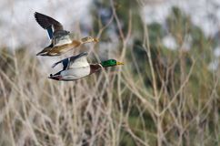 Pair of Mallard Ducks Flying Past the Snow Filled Winter Woods. Pair of Mallard Ducks Flying Low Past the Snow Filled Winter Woods Royalty Free Stock Photo