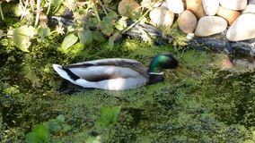 Pair of mallard ducks foraging for duckweed. Pair of mallard ducks, urgently foraging for duckweed in an English garden pond stock footage