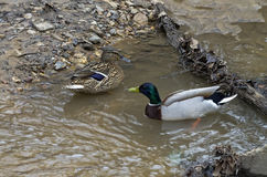 Pair of mallard ducks. A pair of mallard ducks in a forest creek Royalty Free Stock Photos