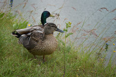 Pair of mallard ducks on the grassy shore. Male and female Stock Photos