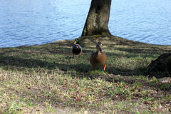Pair of Mallard Ducks. Having a walk. Early spring. Lithuania Royalty Free Stock Photo