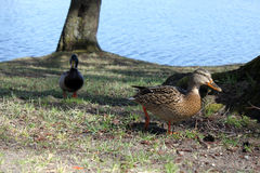 Pair of Mallard Ducks. Having a walk. Early spring. Lithuania Stock Photo