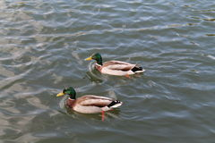 A pair of mallard ducks on a lake Royalty Free Stock Image