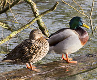 Pair of Mallard Ducks. A male and female mallard duck in unison standing on a semi submerged log royalty free stock images