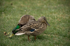 Pair of mallard ducks. Male and female mating pair of mallard ducks looking for food in the grass Stock Photos