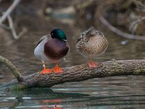 Pair of Mallard Ducks. A male and female Mallard sleeping while setting on a limb partly submerged in water of a small lake Stock Photography