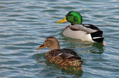 Pair of mallard ducks Stock Images