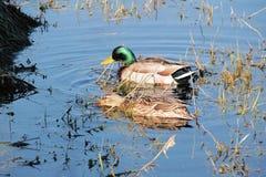 Pair of Mallard Ducks Stock Image