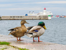Pair of mallard ducks and old lighthouse Malmo. Pair of mallard ducks with blurred background old lighthouse Malmo, Sweden Royalty Free Stock Photos