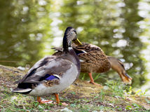 Pair of mallard ducks by the pond. Pair of mallard ducks are fed by the pond Royalty Free Stock Photo