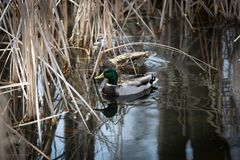 Pair of Mallard Ducks. In a pond. Male and female Royalty Free Stock Photo
