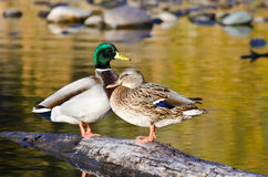Pair of Mallard Ducks Resting in an Autumn Pond. Pair of Mallard Ducks Resting on a Fallen Log in an Autumn Pond Royalty Free Stock Image