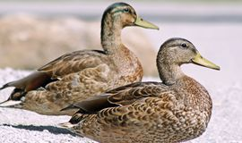 Pair of Mallard ducks resting side by side on land Royalty Free Stock Photos