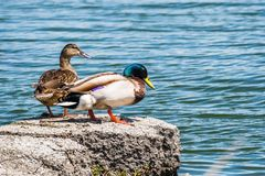 A pair of mallard ducks on the shorelines of San Francisco bay area, California royalty free stock photo