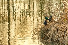Pair of Mallard Ducks sit on edge of pond. A pair of mallard ducks sit in dead tule steams on the banks of a pond Royalty Free Stock Photos