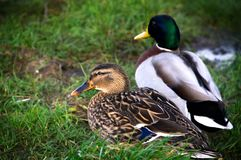 Pair of Mallard Ducks Sitting in the Grass. A male and female mallard duck sit together in the grass.  Focus on the female duck with the male duck in soft focus Stock Photography
