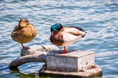 A pair of mallard ducks sleeping on the shorelines of San Francisco bay area, California royalty free stock photo