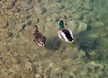 Pair of mallard ducks. Swimming in clear water Stock Image