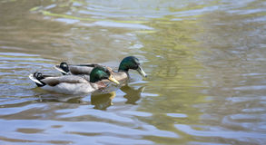 Pair of mallard ducks swimming on lake. A pair of Mallard Ducks swimming on a large lake Stock Photos